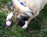 Pug's Easter Egg Hunt Video