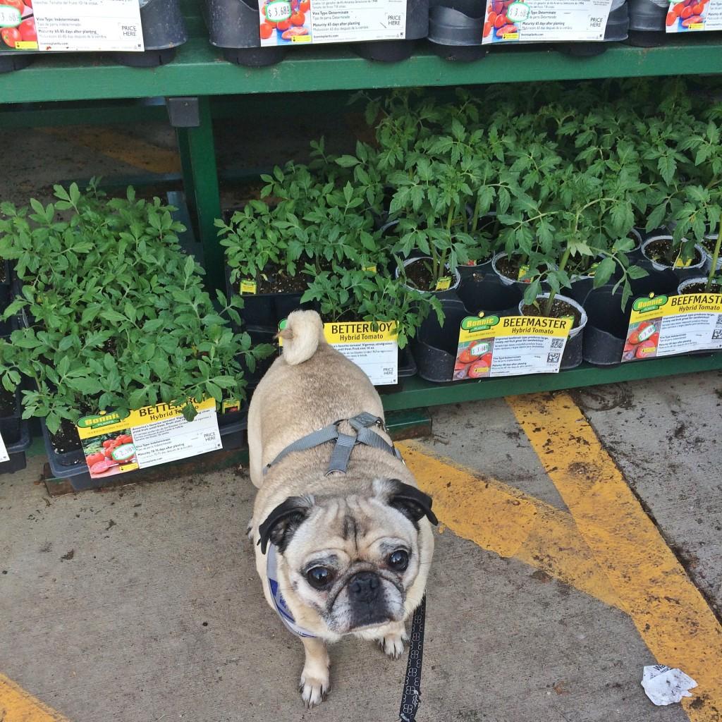 Pug at Home Depot