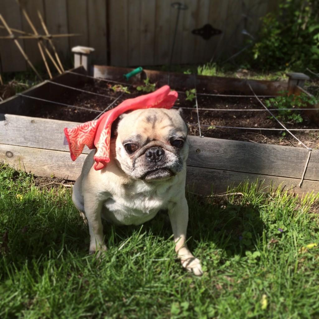 Pug Gardening