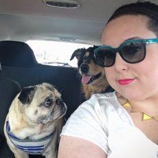 Pug Car Trip