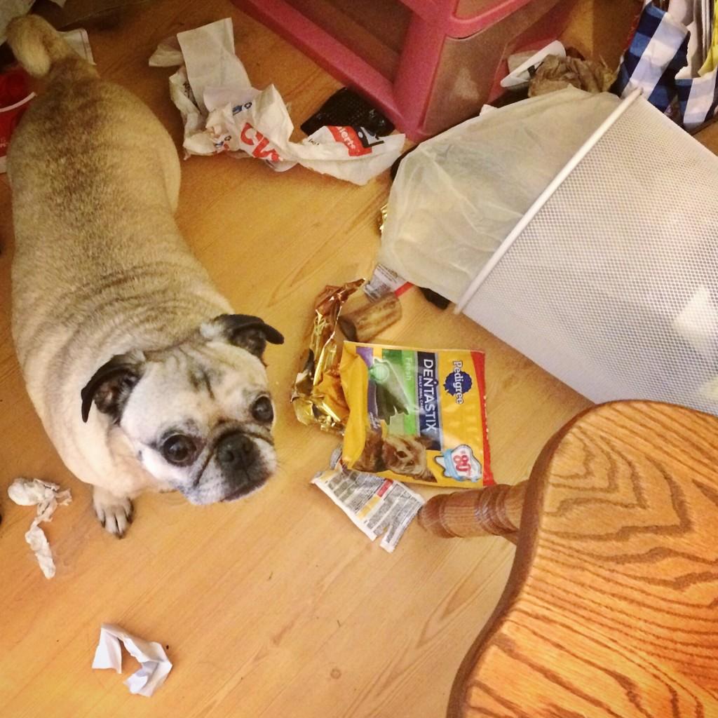 Pug in Trash