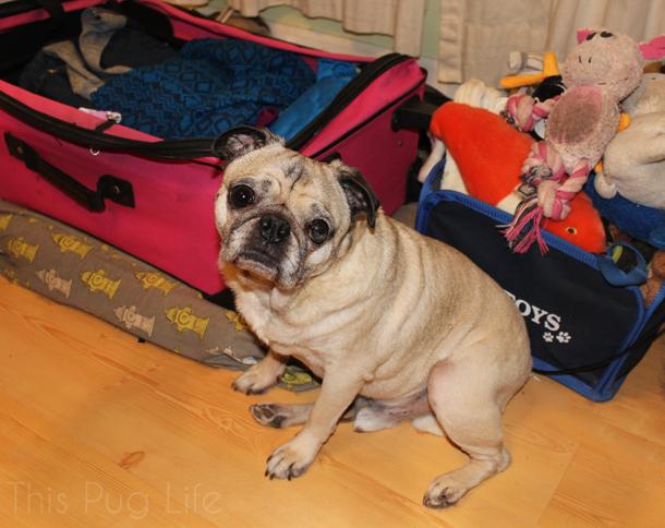 Pug Packs his Bag