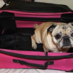 Pug Packs His Bags