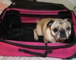 Pug Packs His Bags