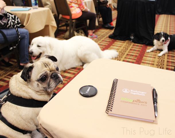 Pug at BlogPaws Conference Nashville