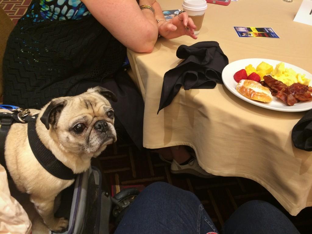 Begging Pug