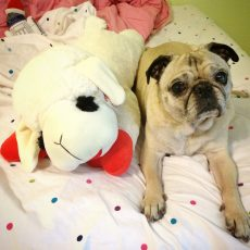 Pug and Giant Lamb Chop