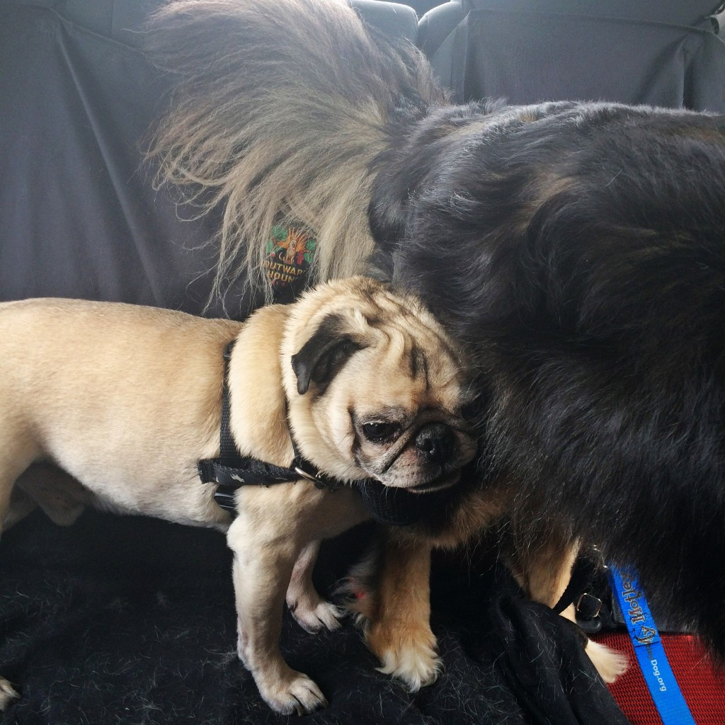 Squished Pug