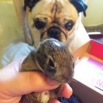 Suburban Wildlife Rescue with Pug
