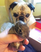 Suburban Wildlife Rescue with Pug