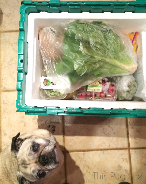 Pug Inspects Green Bean Delivery