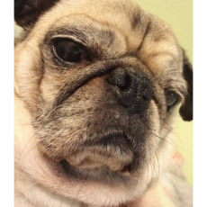 Pug Accidental Frontcam