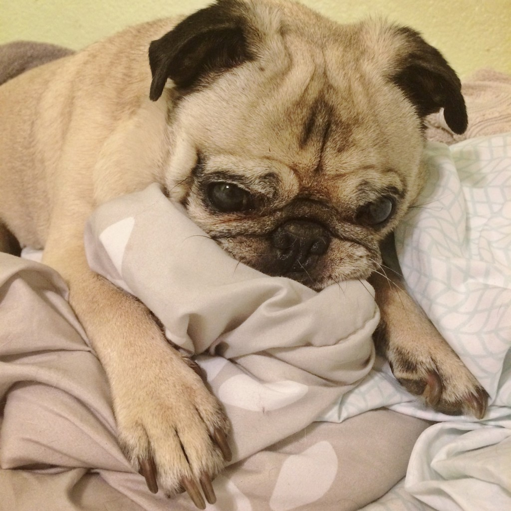 Pug Sucking Blanket