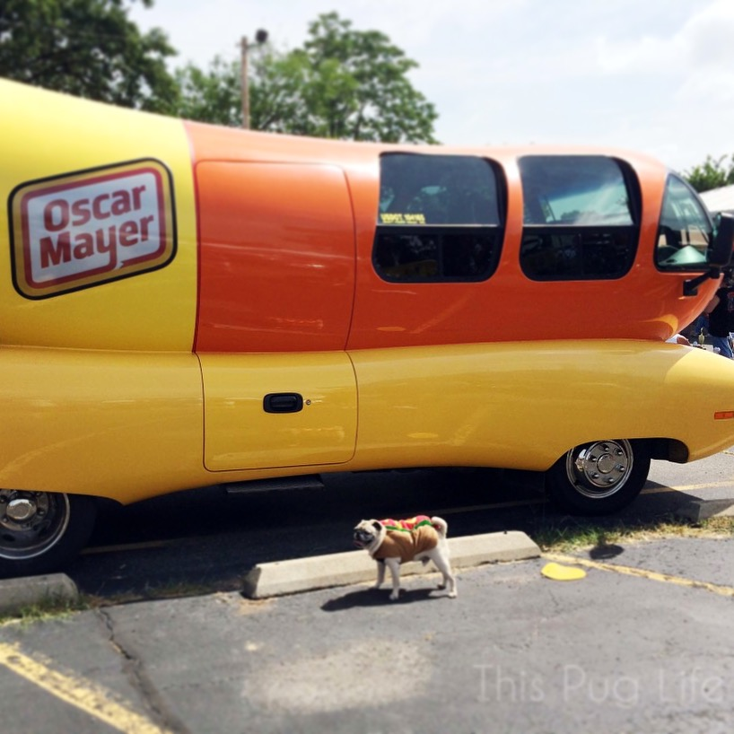 Pug visiting the Oscar Mayer Wienermobile