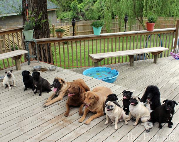Huge Grumble of Pugs