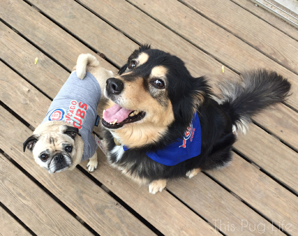 Pug and Molly Cubs Gear