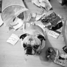Pug Knocked Over Trash