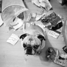 Pug Knocked Over Trash