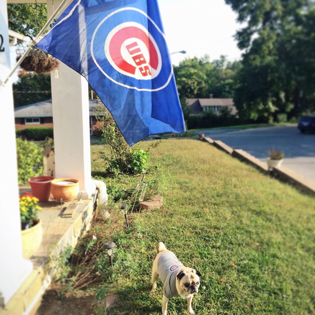 Pug with Cubs Flag