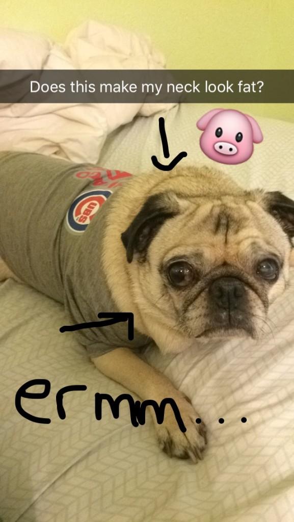 Fat Pug in a little Cubs Shirt