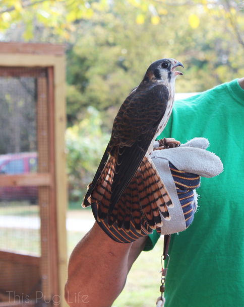 Ameriacn Kestrel Treehouse Wildlife Center