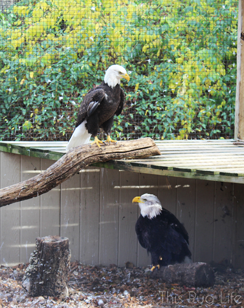 American Bald Eagles Treehouse Wildlife Center