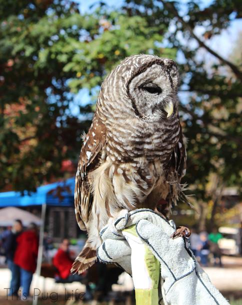 Barred Owl Treehouse Wildlife Center
