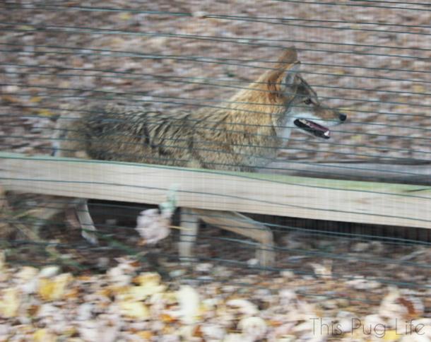 Coyote Treehouse Wildlife Center