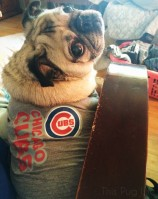 Pug Loves the Chicago Cubs