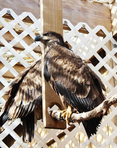 Immature Bald Eagle Treehouse Wildlife Center