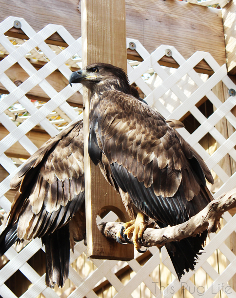 Immature Bald Eagle Treehouse Wildlife Center