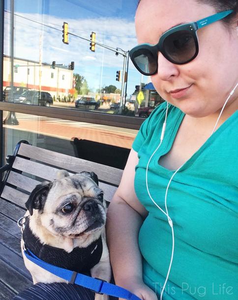 Pug Refuses To Walk
