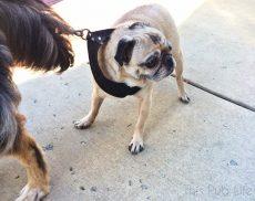 Pug Refusing to Walk