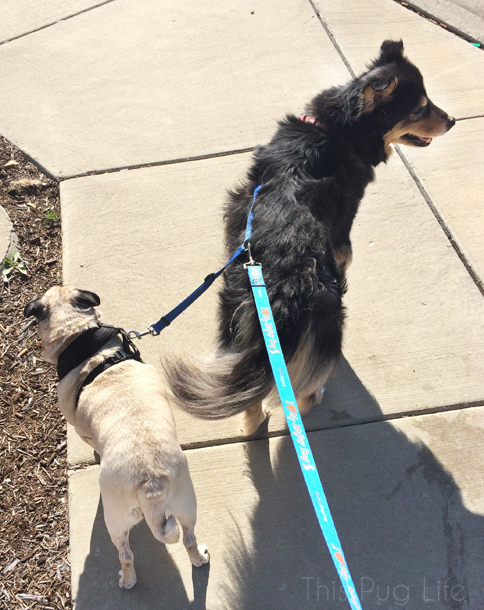 Pug and Molly on a Leash Coupler