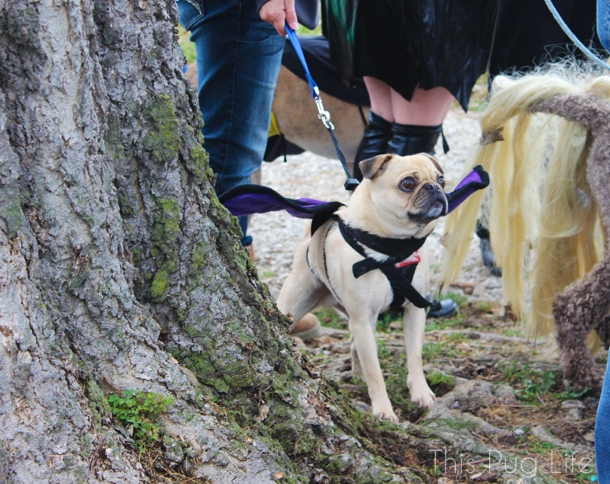 Howloween Festival Bat Pug