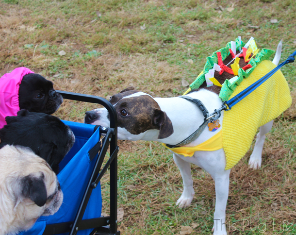 Howloween Festival Pugs and Taco Dog