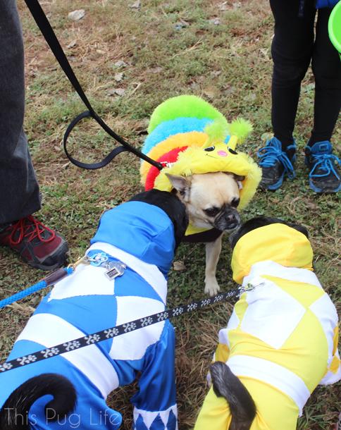 Howloween Festival Pugs and Chug