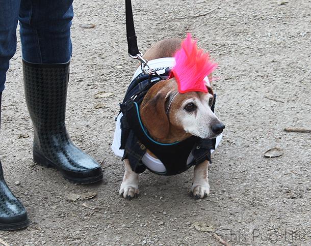 Howloween Festival Punk Rock Beagle