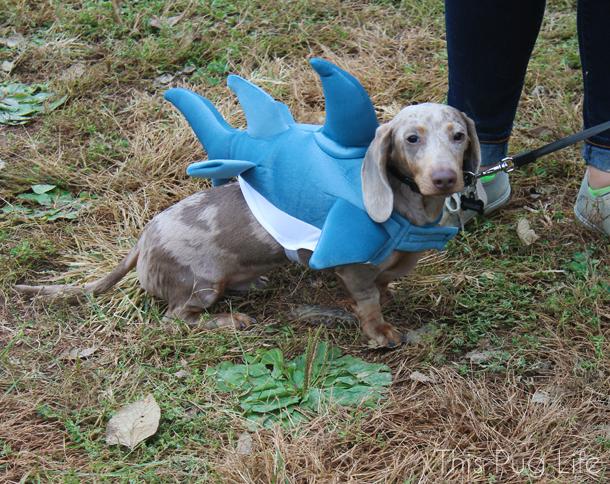 Howloween Festival Shark Puppy