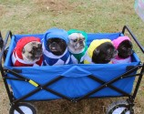 Mighty Morphin Pug Power Rangers go to Howl-o-Ween