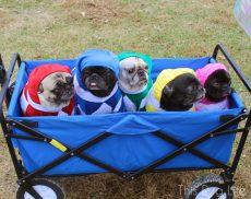 Mighty Morphin Pug Power Rangers