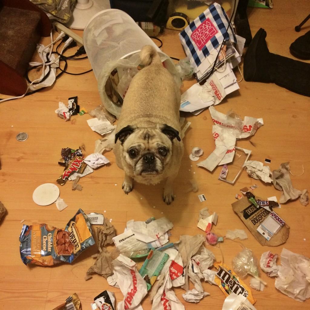 Pug got into the trash