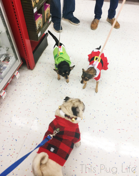 Pug made friends while waiting in line for Santa