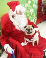 Pug and Molly Visit Santa