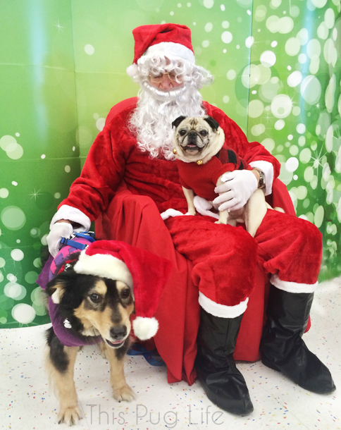 Pug and Molly Picture with Santa
