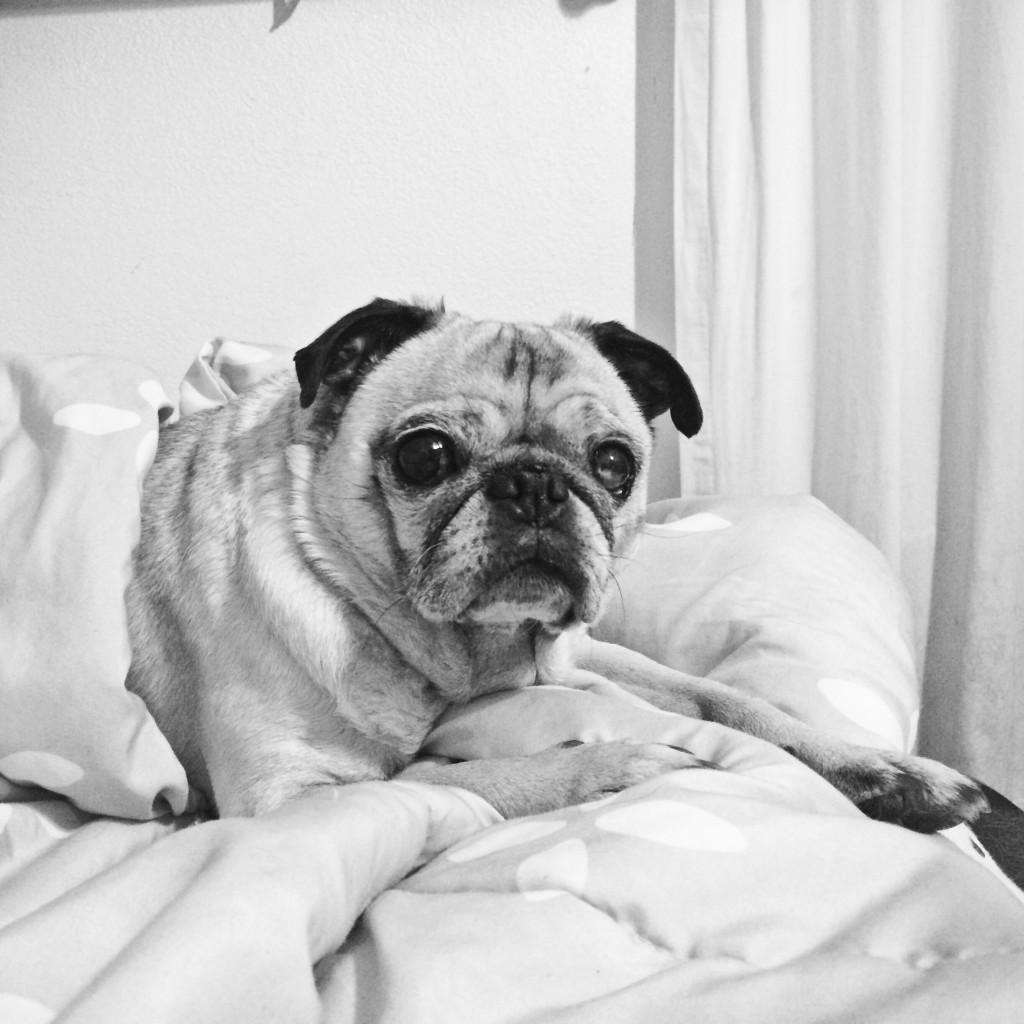 Pug Under a Blanket