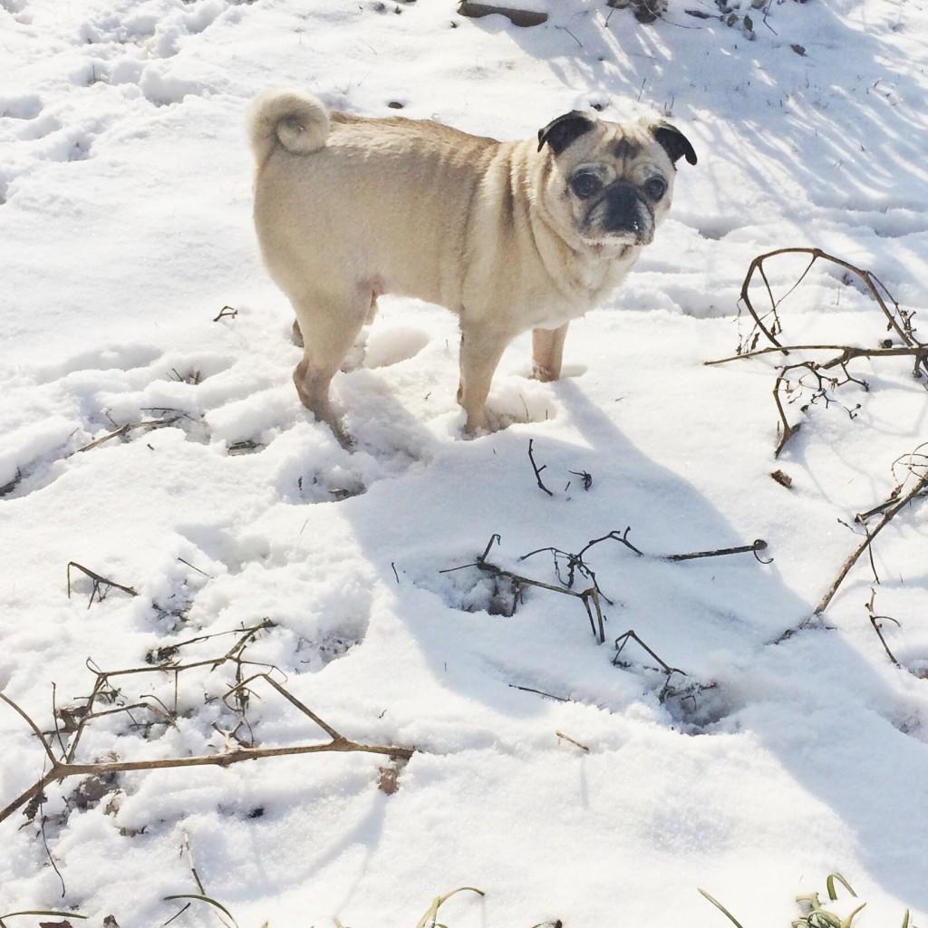 Pug refusing to poop in snow
