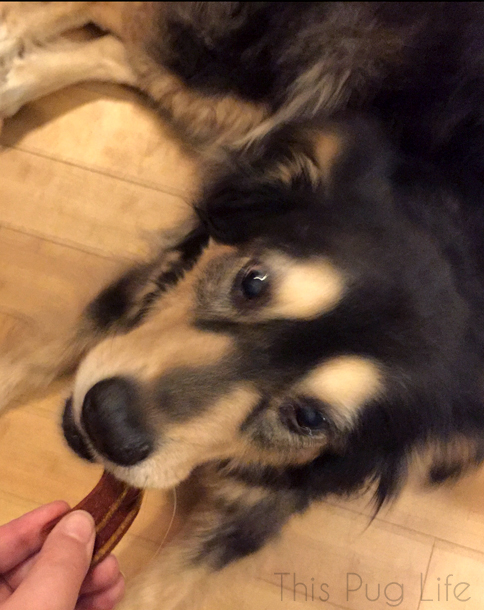 Dog Eating Blue Buffalo Savory Sizzler Bacon Treat
