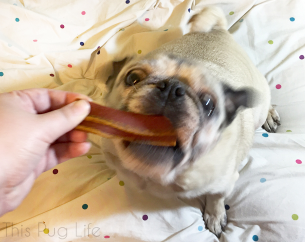 Pug Eating Blue Buffalo Savory Sizzler Bacon Treat
