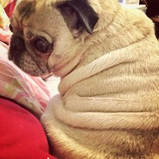 Pug Wrinkles and Rolls